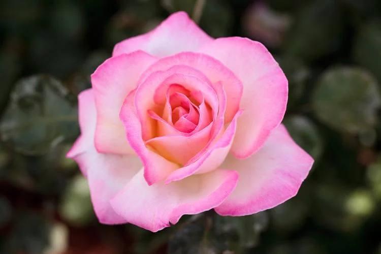 Princess De Monaco Climbing Rose Hello Hello Plants