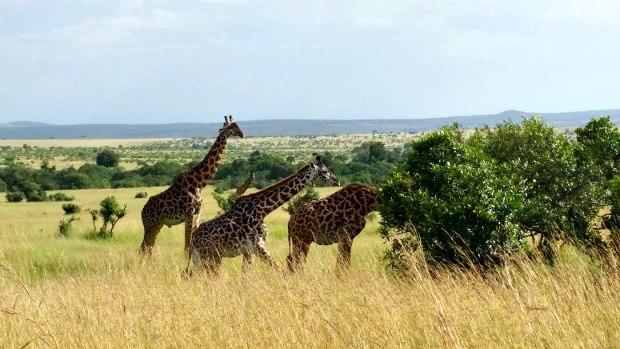 giraffekenya