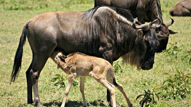 wildebeestngorongoro