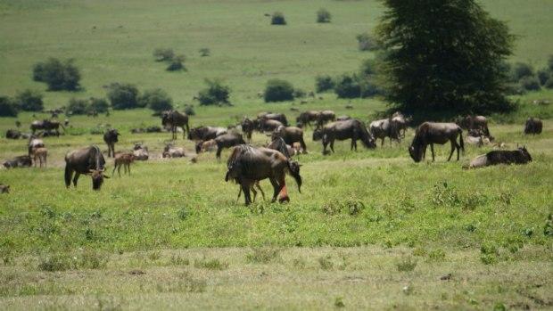 wildebeestplacenta