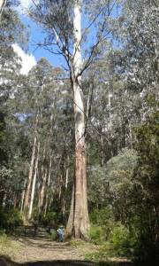 Still some great timber around: 1939 regrowth! — at M15 Track off Boundary Rd.