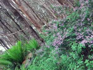 Prostanthera looking fabulous at the summit of Mt Horsefall.
