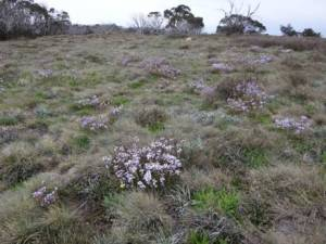 Lots of pretty purple wildflowers on the snow grass plains, but not a patch on Della's roses!