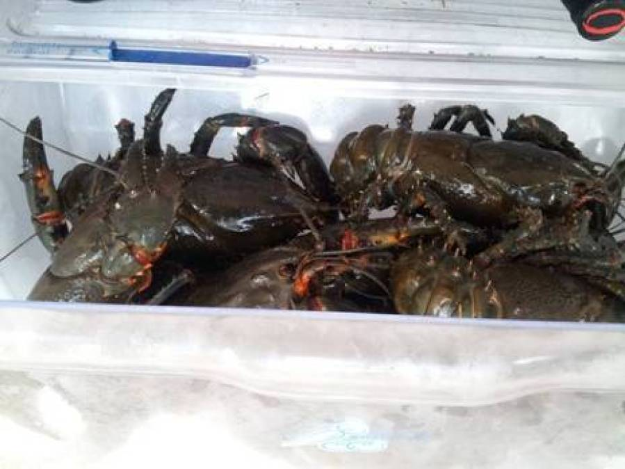 Our Crayfish haul safely back home in the fridge.