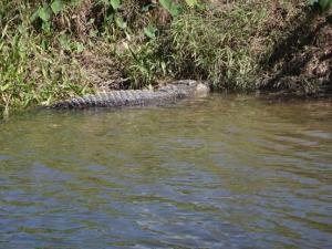 Obligatory Daintree R Croc