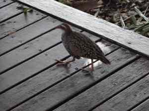 Green Is Buff-banded Rail.