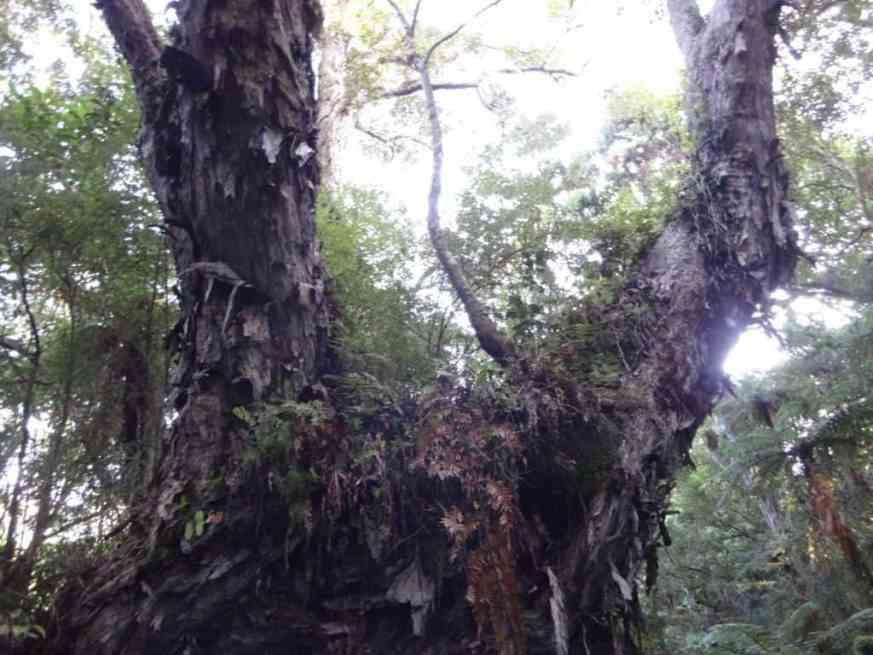 Old Rimu, Tiny's Creek Track Waitutu Forest Fiordland NZ