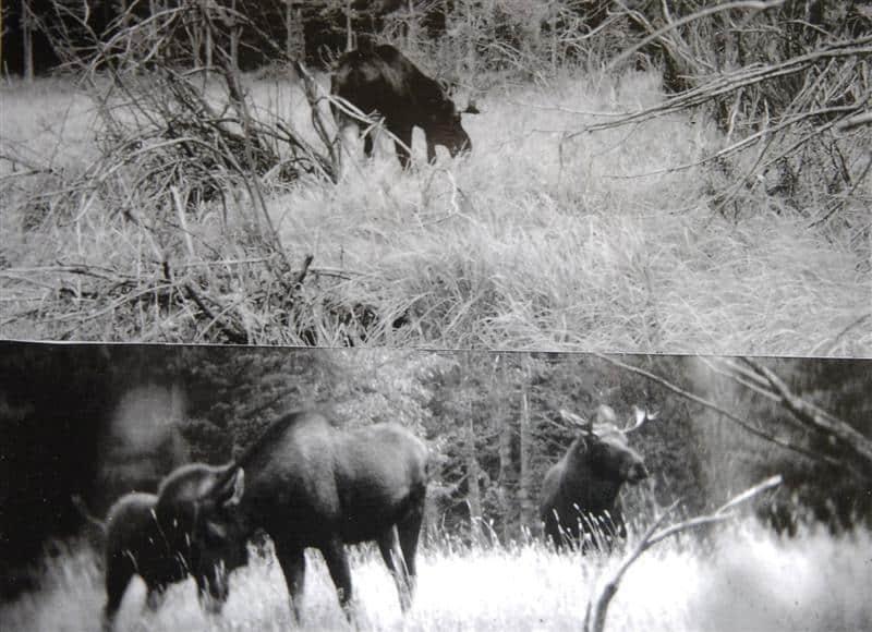 Fiordland Moose: