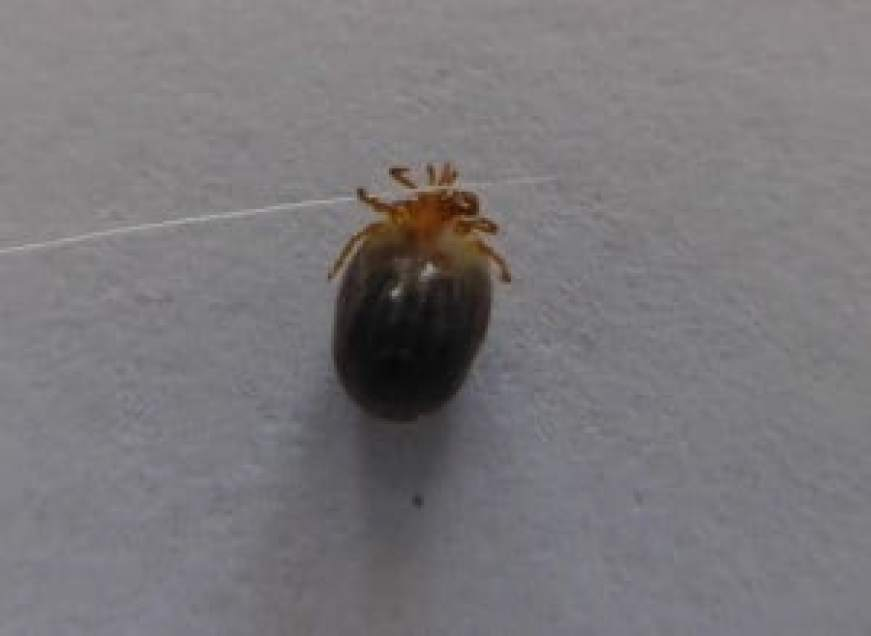 Tick removed head and all