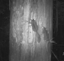 Leadbeater's Possums: