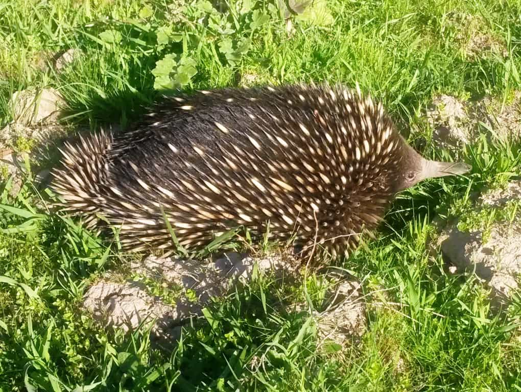 The wildlife seems to get wilder every day: Giant Echidnas & Other Strange Things