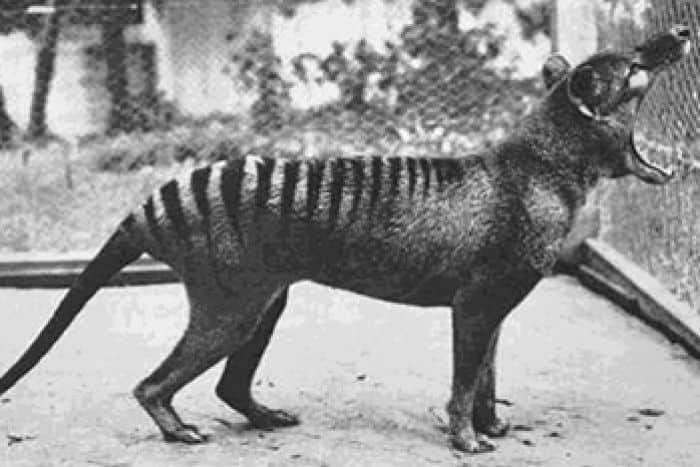 The Thylacine Returns: