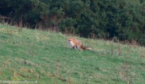 A fat fox- this one isn't starving! He tried a sneak attack on the heron but was spooked by something and bolted.