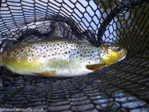 Brown Trout on CDC Spider