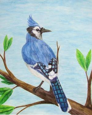 Blue Jay Professional Prints of Watercolor Pencil Avian Totem Animal Fine Art