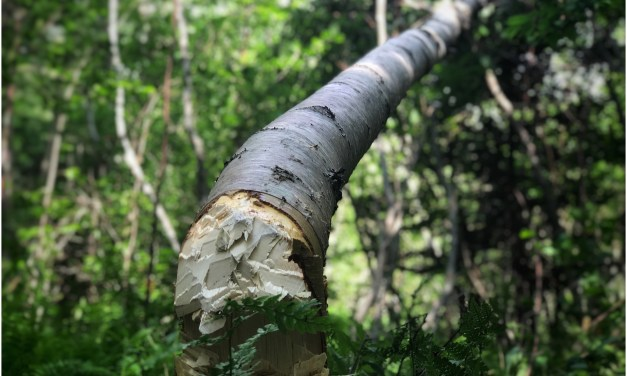 Episode 517 – One Tree Falling