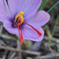 What's Growing: Saffron in Salt Lake City