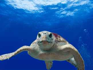 Sea Turtles in Fort Walton, FL>