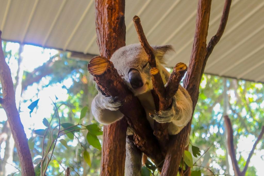 Should you hold a koala in Australia?