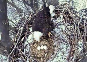 Nbg Eagles Third Egg 13