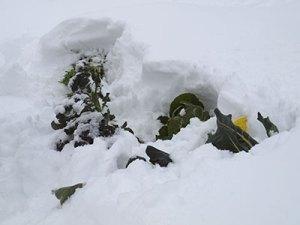 broccoli-in-the-snow