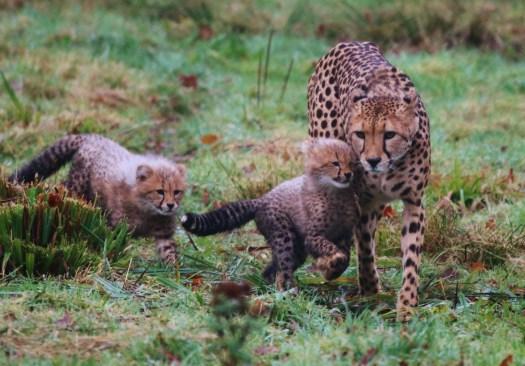cheetah-cubs-winston-and-poppy-with-mum-wilma-at-longleat-safari-park-pic-caleb-hall-3000x2089
