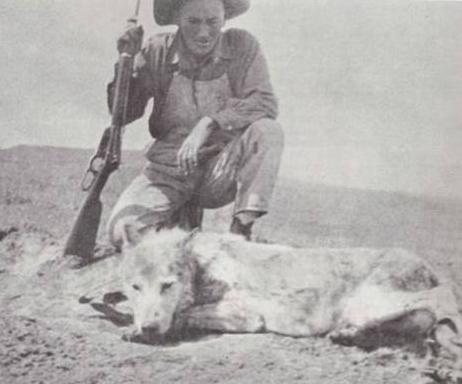 1925 July Three Toes of Harding County South Dakota famous wolf taken by Clyde F Briggs state deputy predatory animal inspector