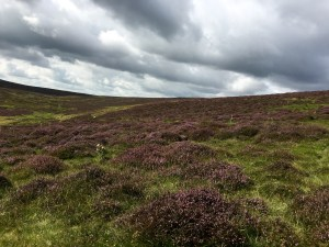 Hills of purple Heather.