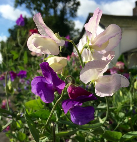 Oh well, there's always sweet peas.