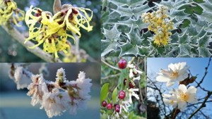 Witch hazel, Mahonia, Sarcococca, Winter sweet and Prunus autmnalis.
