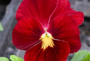 Pansy Panola Red