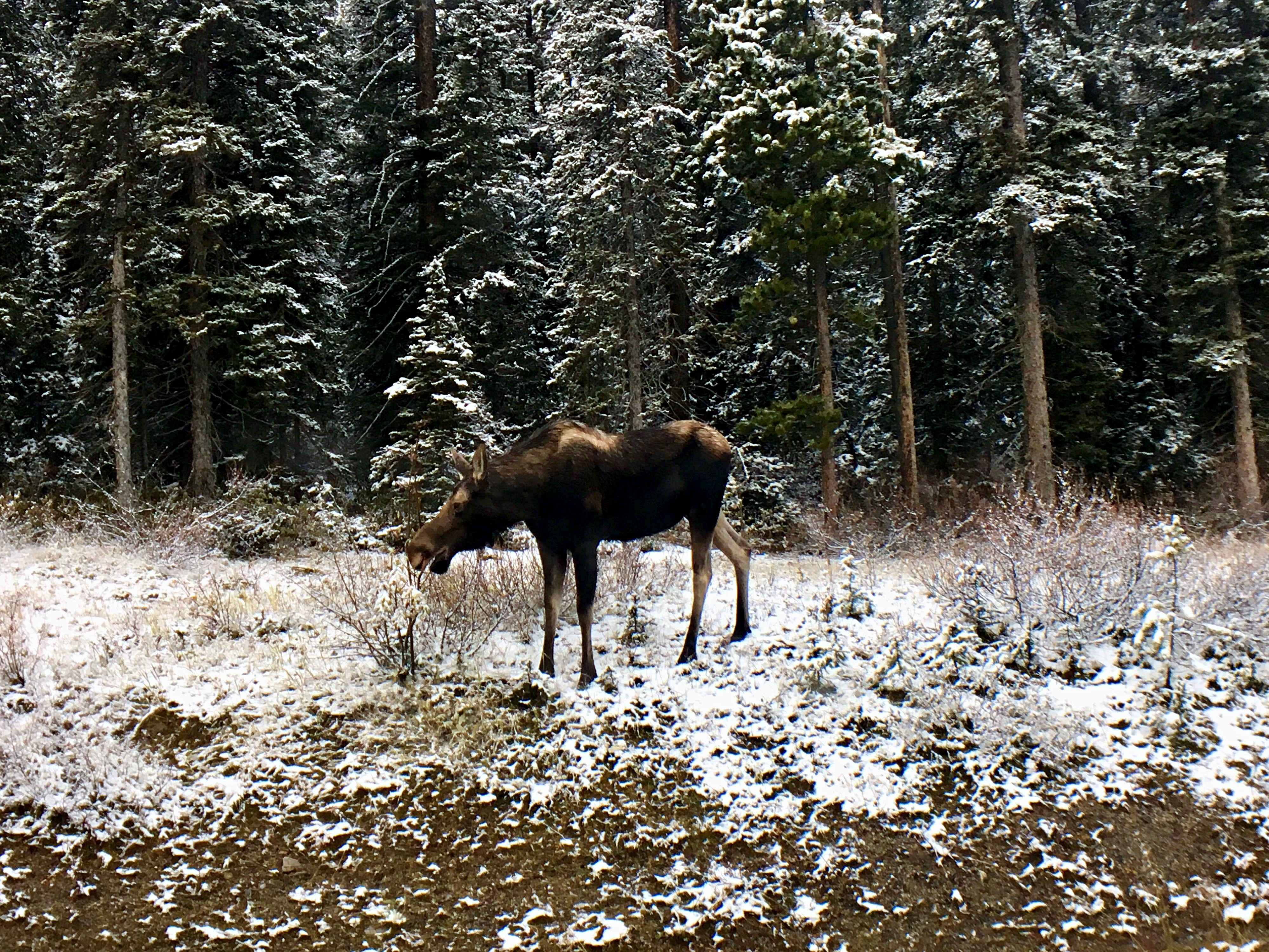 Moose •7 Reasons Why You NEED to Visit Banff National Park | The Wanderful Me