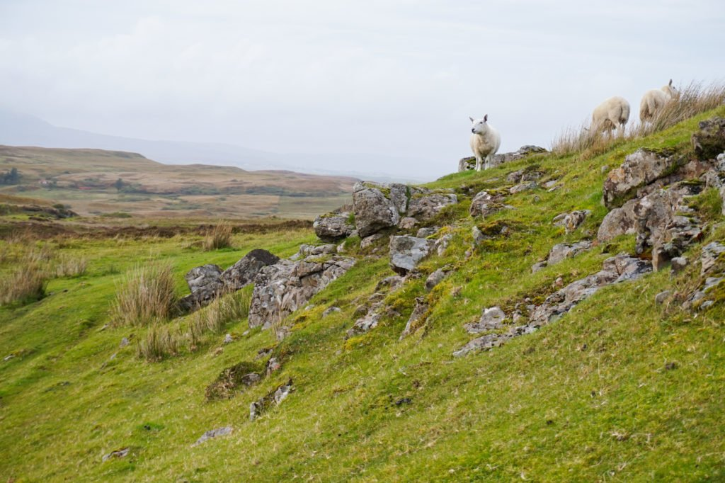 Adorable Sheep •3-Day Tour to Skye, The Highlands, and Loch Ness | The Wanderful Me