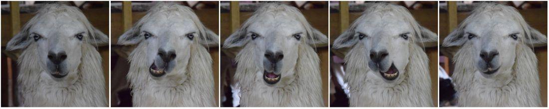 The llama's five-step-chew,Les Grandes Médiévales, Andilly, France