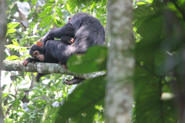 Chimp Tracking in Uganda