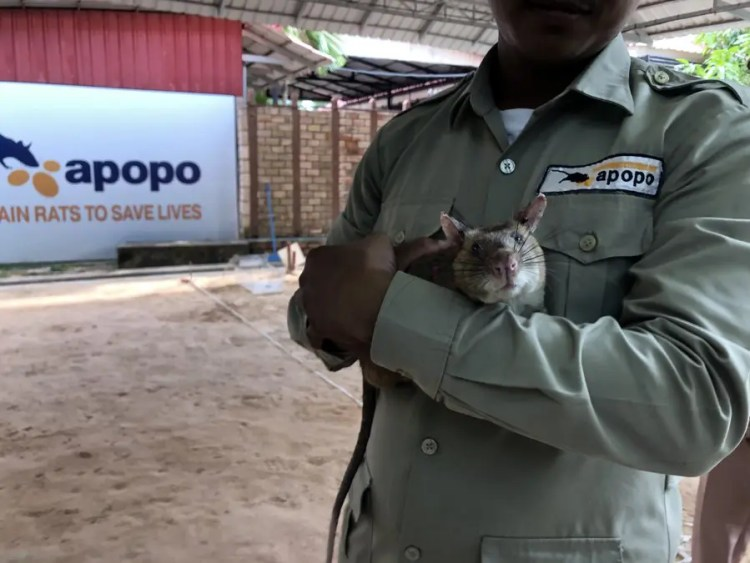4 Days in Siem Reap, HERO Rats