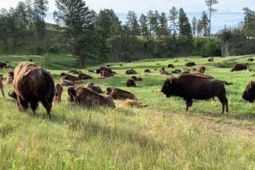 Herd of Bison Custer State Park South Dakota