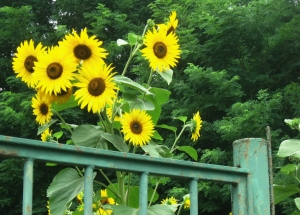 1411797_sunflowers_above_a_gate