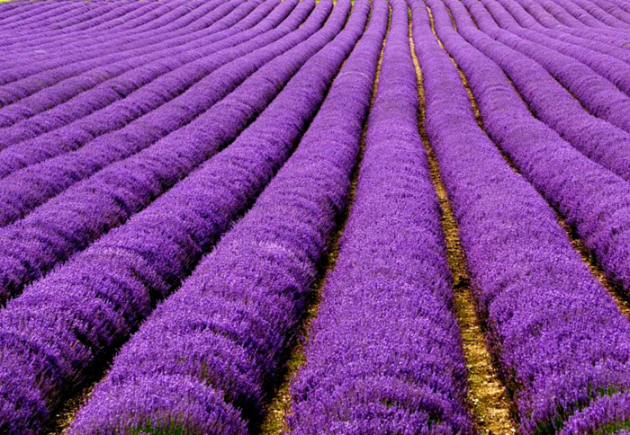 Lavender fields in France. 16 Colourful Places In The World For Your Bridal Portraits. www.theweddingnotebook.com