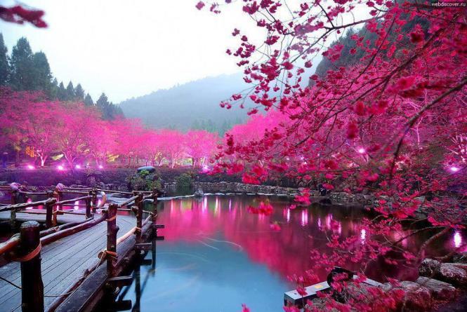 Taiwan Honeymoon Cherry Blossoms