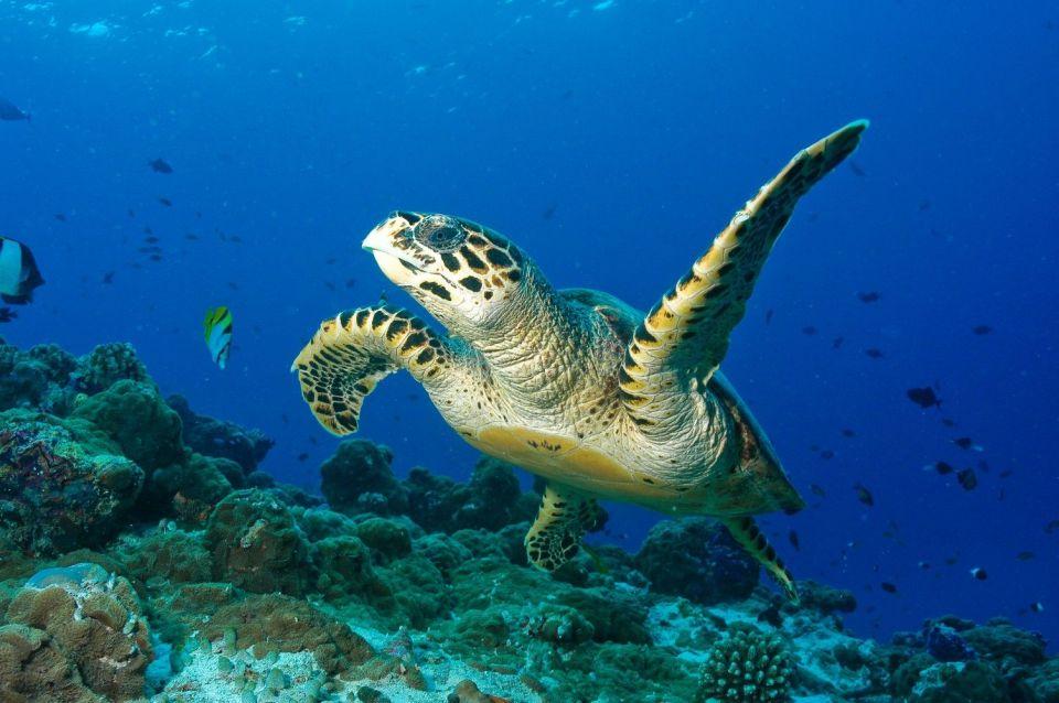 diving sea turtle maldives