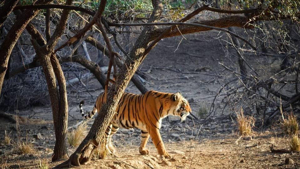 india honeymoon Ranthambore