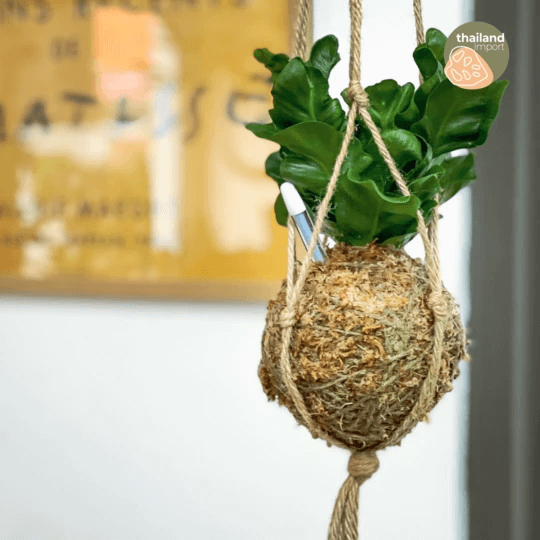 shopleaf plant studio cobra fern