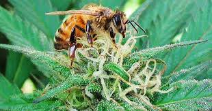 EPA: This pesticide is killing bees. (Pssst, it's also in some of your weed)