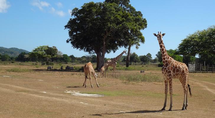 Calauit Island - Giraffees
