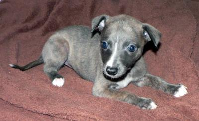 Whippet Puppies Picture Contest Dusty