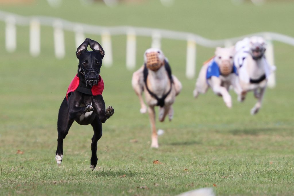 Whippet racing at the WCRA