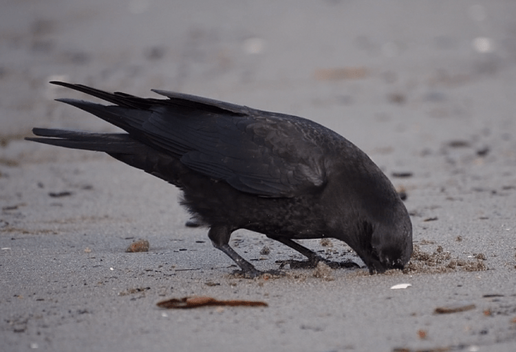 Crow Foraging - ©ingridtaylar