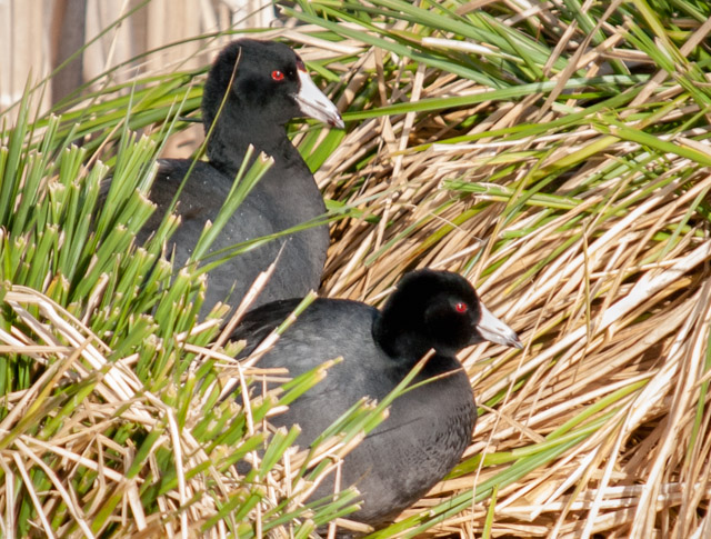 American Coots at Union Bay Natural Area in Seattle