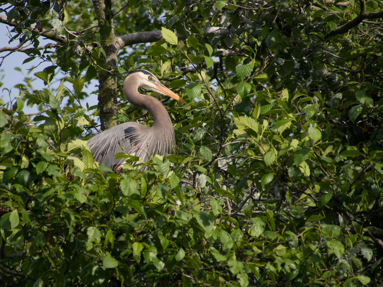 Great Blue Heron in Seattle Rookery